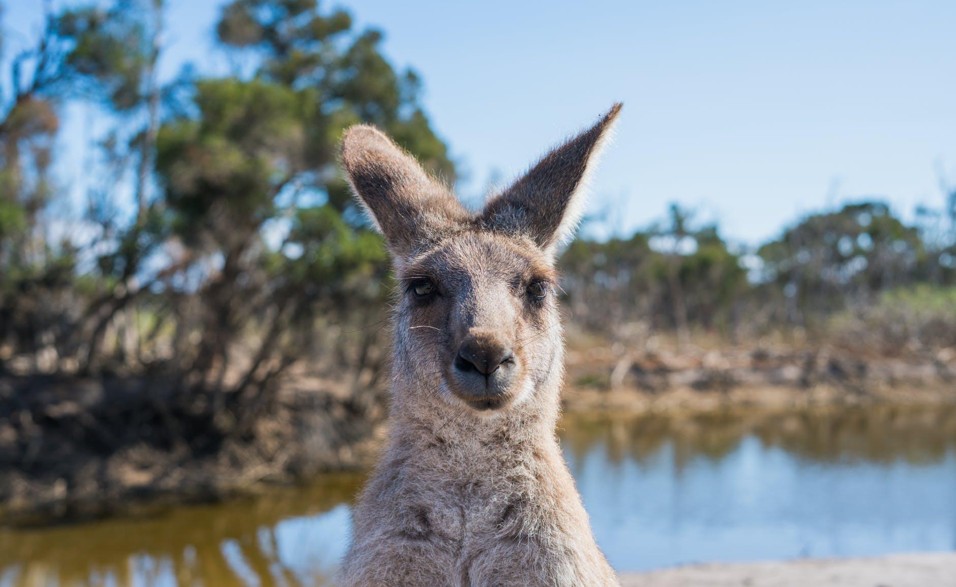 shallow focus photo of kangaroo